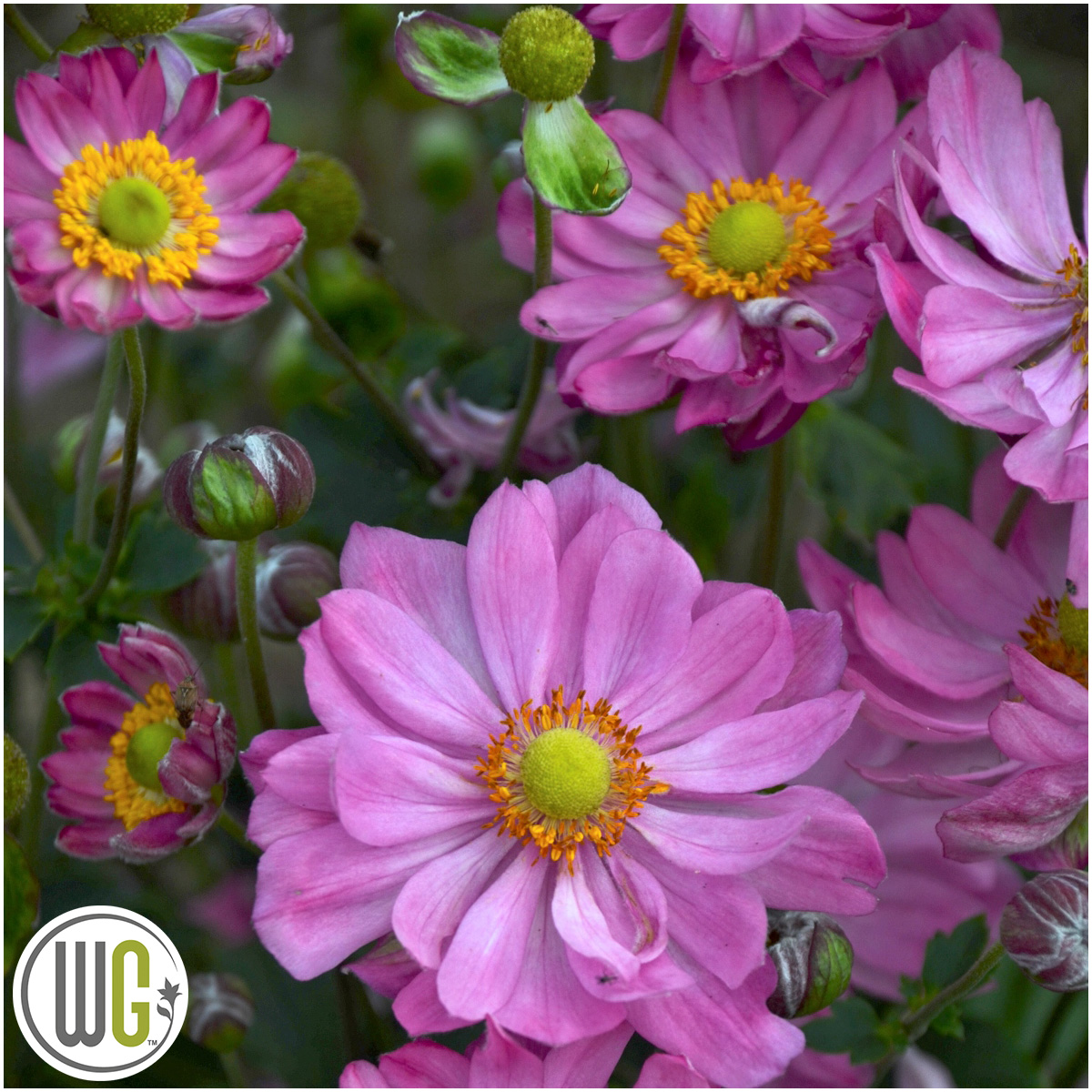Anemone 'Curtain Call Pink'®